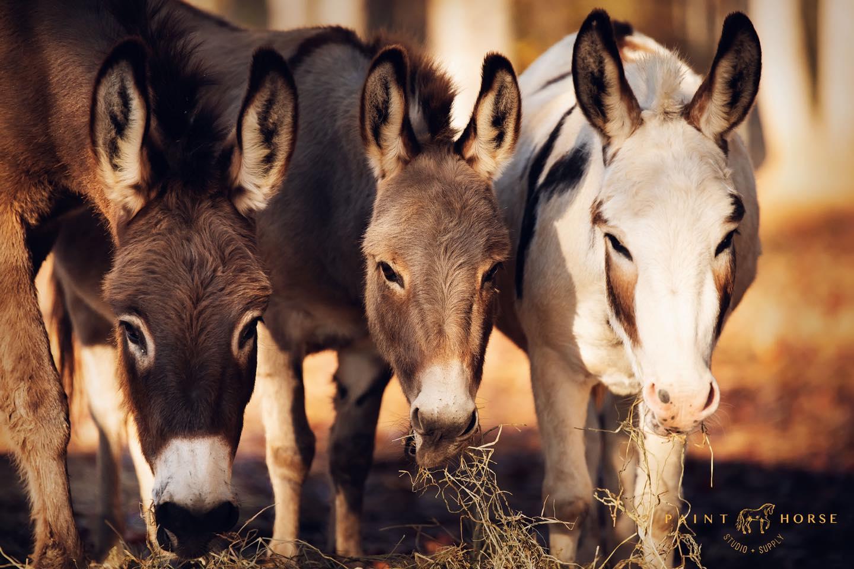 Donkeys_RBR