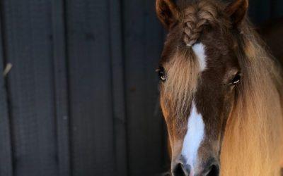 Flicka, Miniature Horse