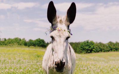 Mariah, Mammoth Donkey