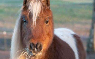 Pinto Bean, Miniature Horse